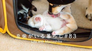 【ママデビュー】3匹の豆柴子犬と新生活がはじまる