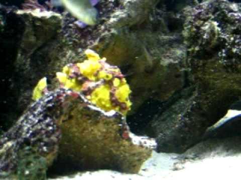 Wartskin Anglerfish Luring Prey