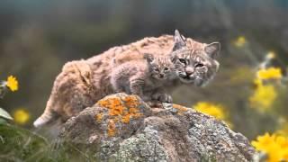 COOL CATS PHOTO - Bobcat (Рысь)