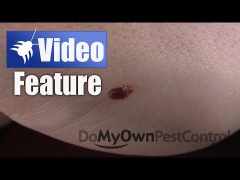Bed Bug Bite Feeding Time Lapsed Bed Bug Bite In Hd Bed Bug Bites