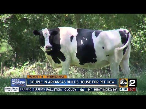 Arkansas couple builds house for pet cow