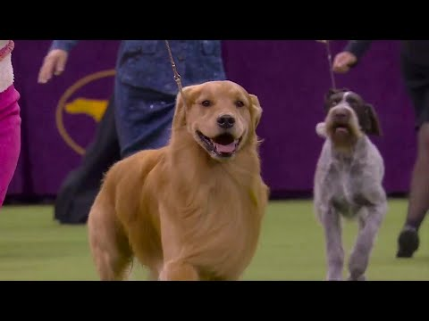 'Daniel' the golden retriever wins Sporting Group at 2020 Westminster Dog Show
