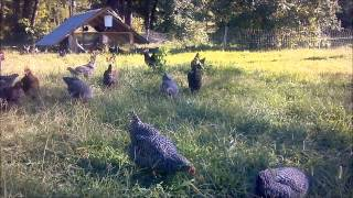 Pastured Poultry at Double G Family Farms.wmv