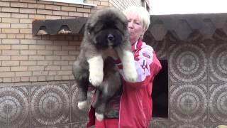 Продажа щенков Кавказская овчарка www.r-risk.ru +79262205603 Татьяна Ягодкина