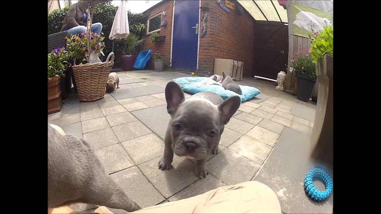 Ongebruikt Blue french bulldog puppies playing - YouTube EP-38