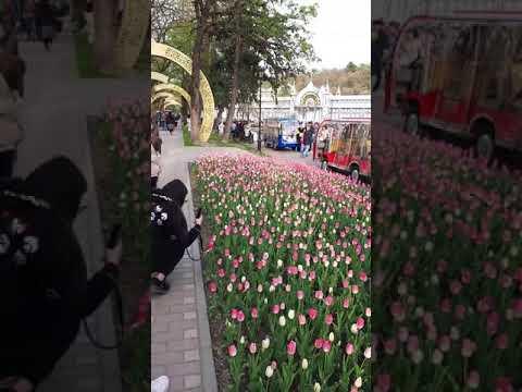 Тюльпановый Прямой Эфир из Пятигорска!! Парк Цветник