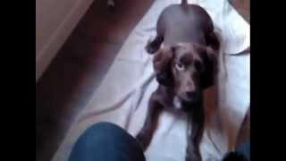 Advanced Trick Dog Title - Bella Blot