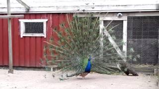 Peafowl (peacock) - Riikinkukko - 2009.