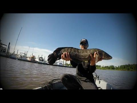 Potomac river fishing bass big snakehead with jump youtube for Potomac river fishing report