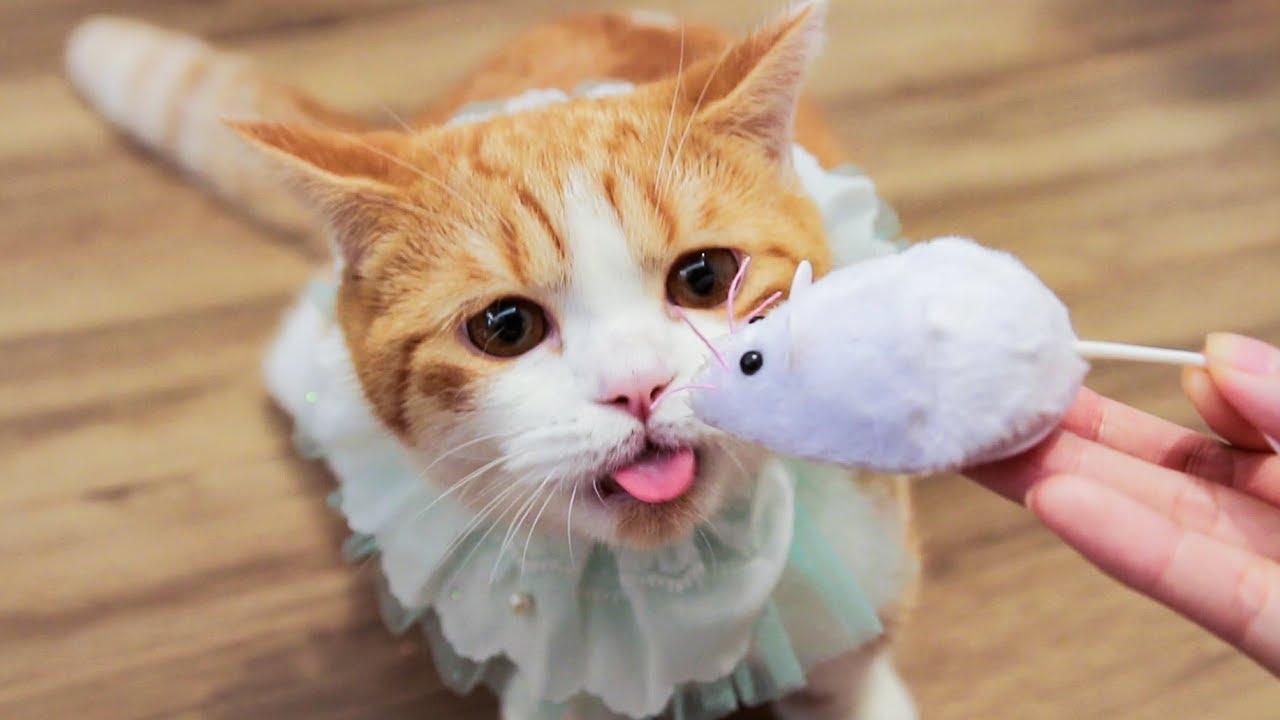 从没见过老鼠的猫咪-看到老鼠之后发疯了-满屋子追着跑