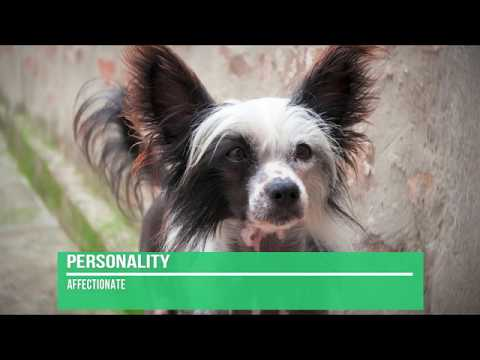 Chinese Crested Dog Breed Information - Quick Facts