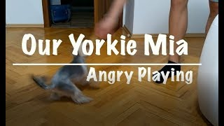 Our Mini Yorkie Mia Angry Playing