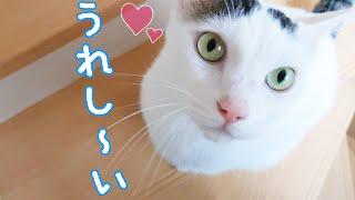 甘えたくてママを呼ぶお喋り猫チロさん