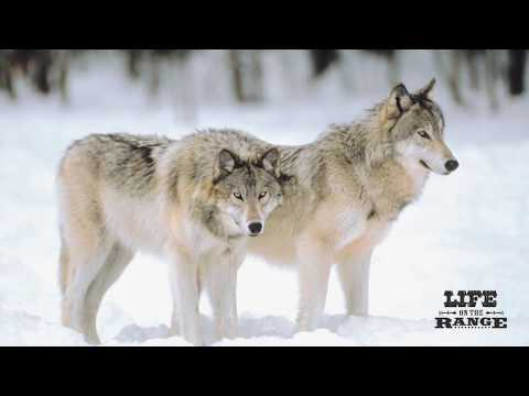 Part 1: Early History Of Wolves In Idaho