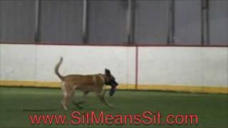 Police Dog  - Amazing Training Transformation