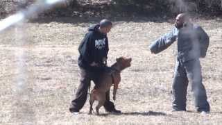Special Forces Pitbull Dog Training **graphic Warning**plus Free Education!