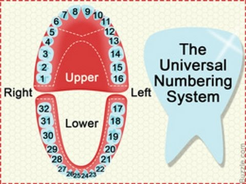 Dental Charts to Understand Tooth Numbering System - YouTube