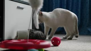 играют британские котята 7 недель