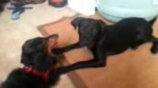Friendly Puppy Love Dachshund And Labrador Mix Playing