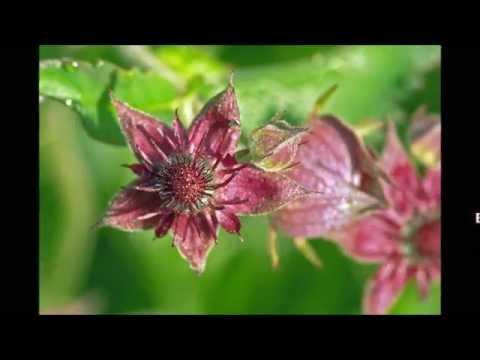 Сабельник — лечебные свойства, применение и