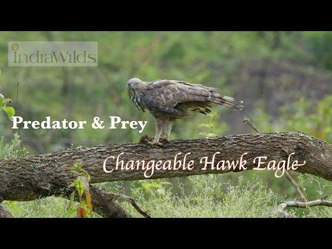 Birds Of Prey: Changeable Hawk Eagle On Kill