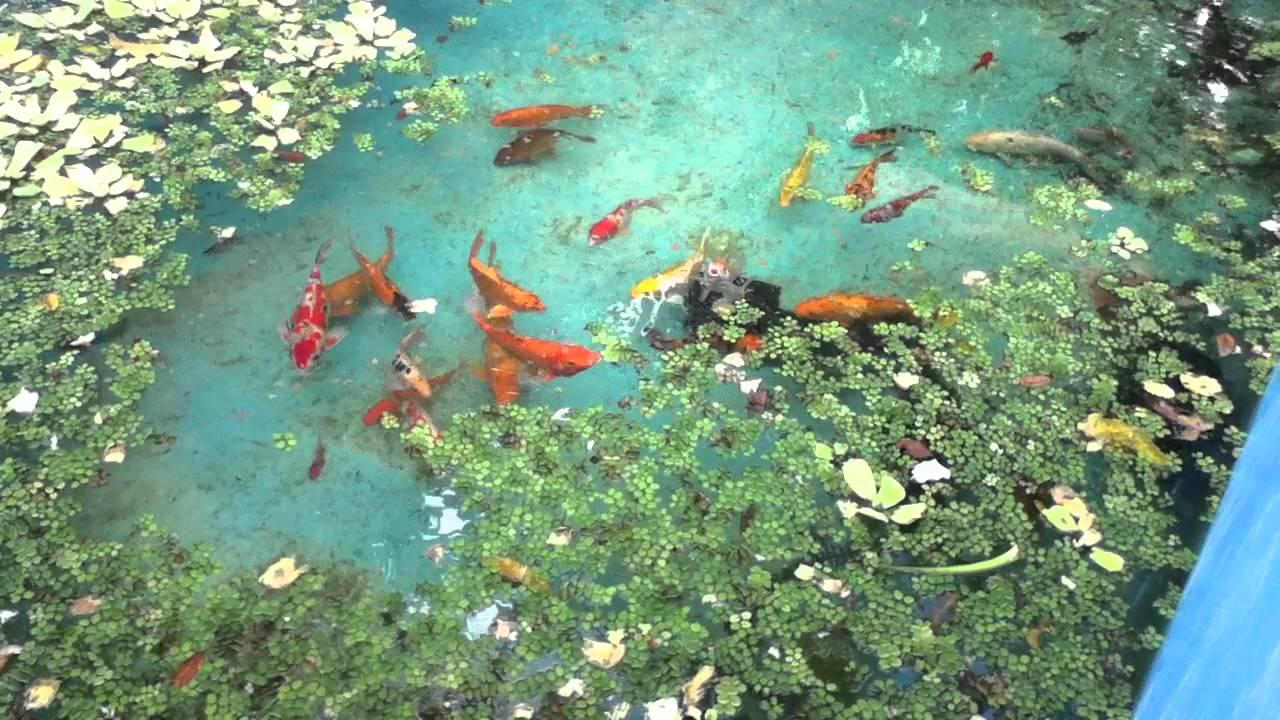 Mis kois en la piscina esperando a que est lista su nuevo for Plantas para piscinas