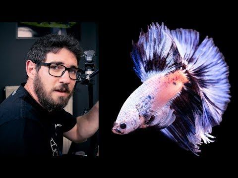 BETTA FISH PHOTOGRAPHY - HOW WE DO IT AT GREEN AQUA