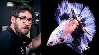 BETTA FISH PHOTOGRAPHY - HOW WE DO IT AT GREEN AQUA