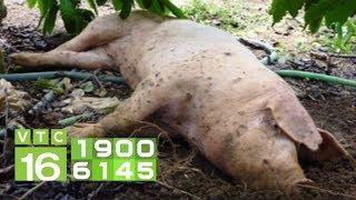 Dịch tả Châu Phi khiến lợn bỏ ăn rồi chết?   VTC16