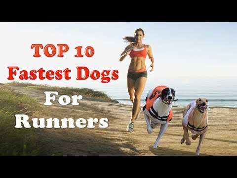 Top 10 fastest running dogs for runners