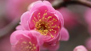日本の象徴的な木の一つ「梅」 小さく可愛い梅の花は春先に、葉より早く...