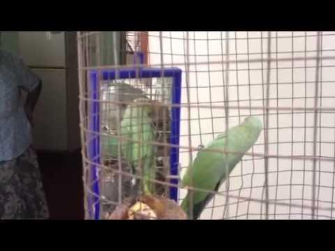 Talking parrot in Sri Lanka