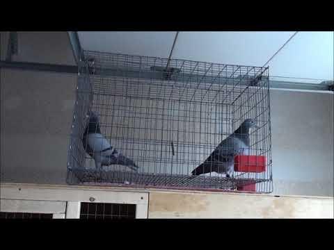 Racing Pigeon Polygamous ( Stallion System) Breeding