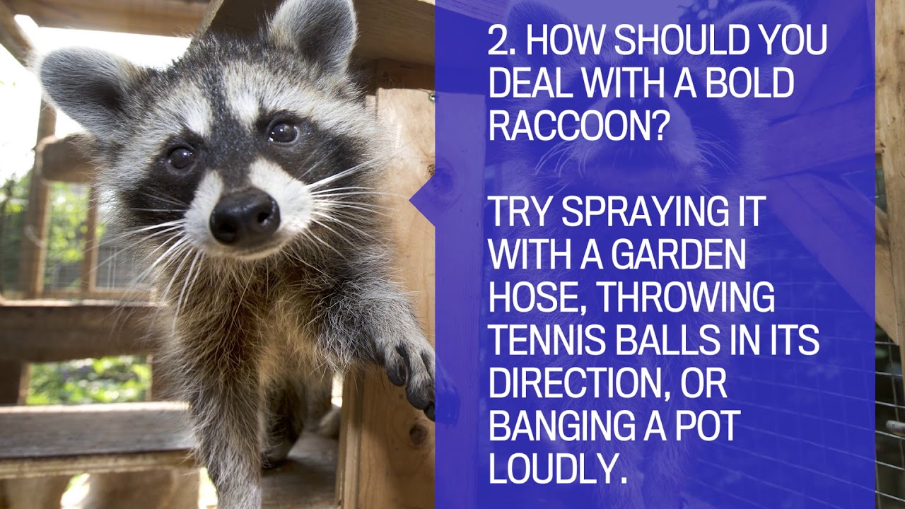 East Vancouver woman wounded in vicious raccoon attack