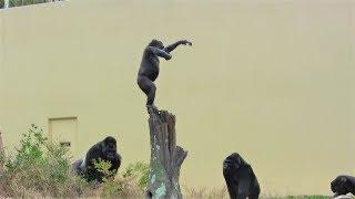 シャバーニ家族 176 Shabani family gorilla