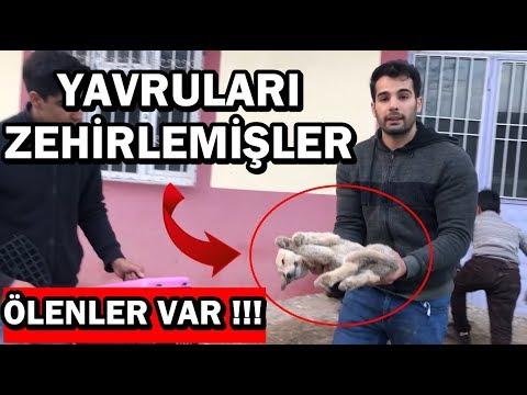 KÖPEKLERİMİZİ ÇALDILAR / YAVRULARI ZEHİRLEMİŞLER !!!