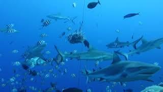Shark Feeding Micronesia Yap ヤップ島 検索動画 36
