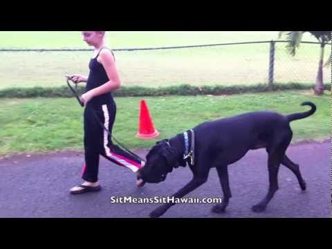 celia walking chance em a former wildman great dane mastiff mix