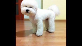 Собака говорит 'МАМА'.  Бишон.  Самые умные собаки.
