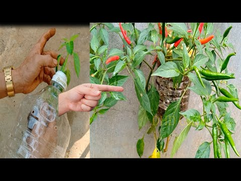 Easy way to grow chili plants in beautiful hanging plastic bottles at home