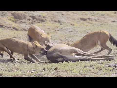 The End of a Sambar Deer