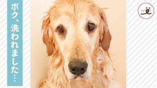 洗われちゃったけどいい子に待機中〜🐶 ワンコのションボリした表情が可愛い💖 【PECO TV】 thumbnail