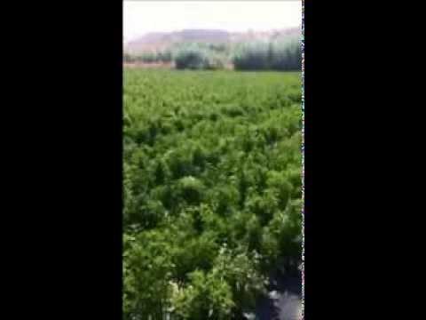 Cultivos de stevia - YouTube