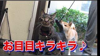 美國短毛貓