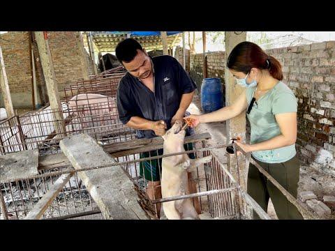 Bệnh dịch tả lợn cổ điển | Triệu chứng và cách điều trị
