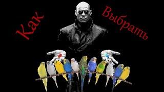 Как выбирать попугая в магазине, волнистые попугаи, не типичные советы!