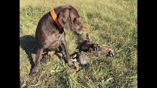 Открытие охоты 2018 на зайца и фазана с курцхааром