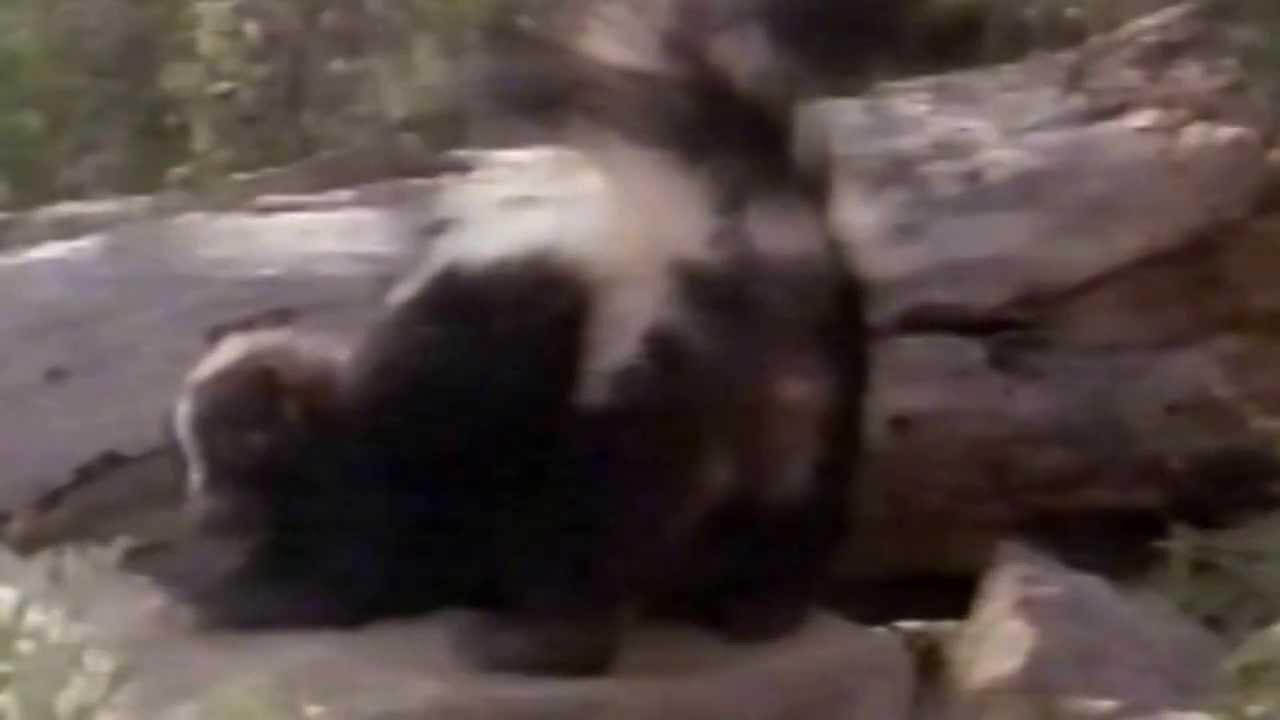 Gamba Glandula De Cheiro Animais Do Cerrado Jaritataca Conepatus Semistriatus Youtube