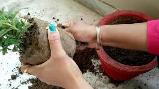 यह है सही तरीका नर्सरी से लाए प्लांट को repot करने का, ऐसे करेंगे पौधाrepot तो कभी खराब नहीं होगा