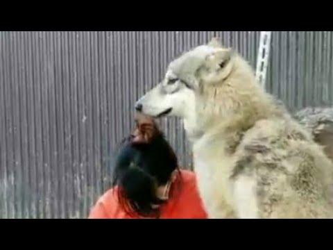【閲覧注意】人間がたくさんの狼犬に襲われるとこうなる!!